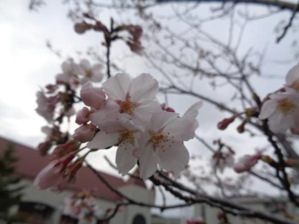 桜満開&最後の日…(竹下)